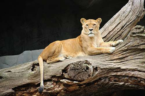 photo mammal adult lioness lying on tree log lion free for commercial use images