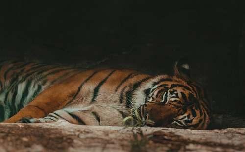 wildlife Bengal tiger tiger