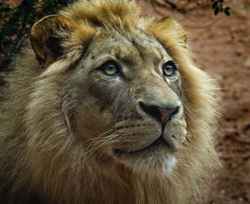 mammal brown lion cun wildlife