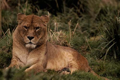 lion brown lion lying on green grass mammal