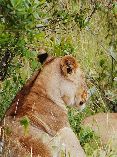 photo lion brown lioness lying on grass mammal free for commercial use images