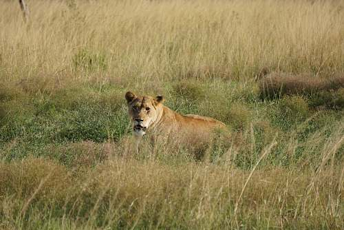 photo lion brown wild cat on grass field mammal free for commercial use images
