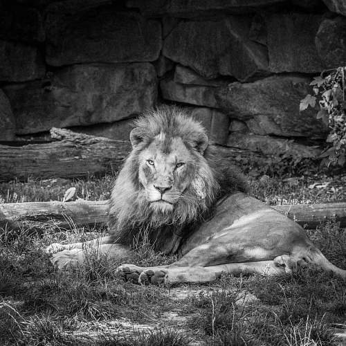 photo mammal grayscale photo of lion black-and-white free for commercial use images