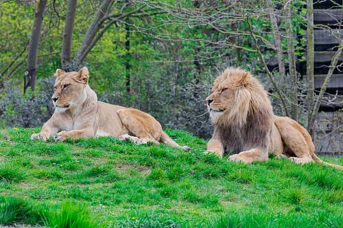photo mammal lion and lioness on green lawn grasses wildlife free for commercial use images