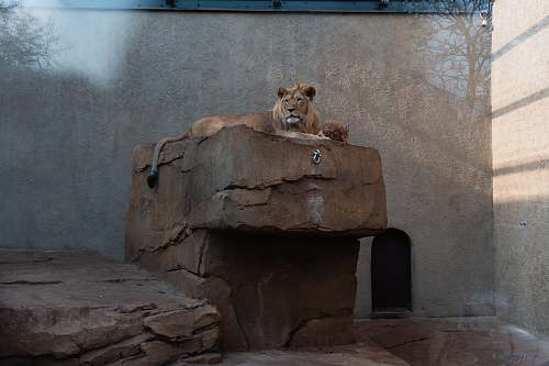 photo mammal lion on rock in zoo wildlife free for commercial use images