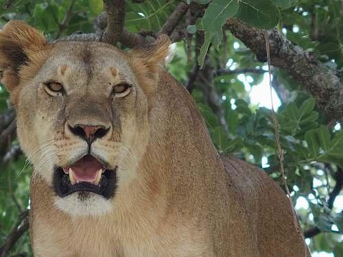 lion lion under tree mammal