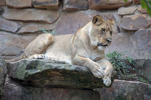 mammal lioness resting on rock lion
