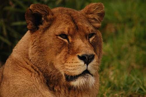 lion Lion's Portrait mammal