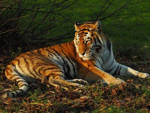 photo mammal lying brown and white tiger beside bare plant tiger free for commercial use images