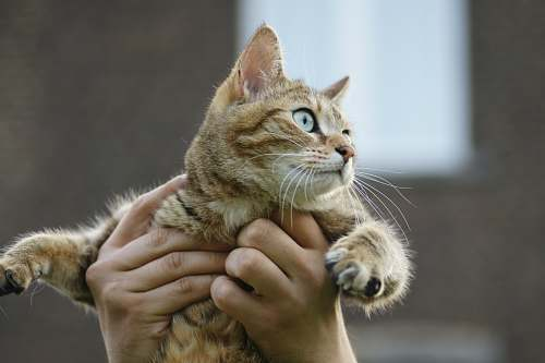 photo cat person carrying cat mammal free for commercial use images