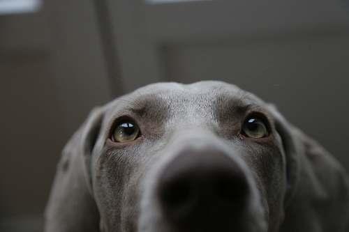 photo canine short-coated gray dog dog free for commercial use images