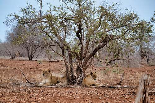 mammal three lions lying under the green tree during daytime lion