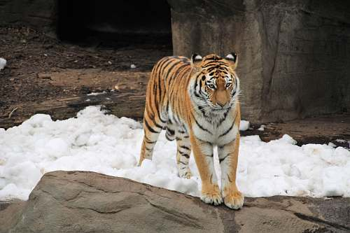 photo wildlife tiger on snow covered ground tiger free for commercial use images