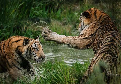 photo tiger tigers fighting on swamp wildlife free for commercial use images