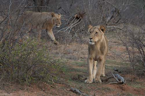 photo mammal two brown lions beside bare trees lion free for commercial use images