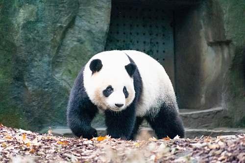 wildlife walking panda front of concrete building bear
