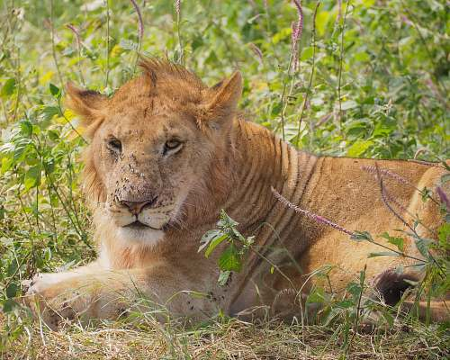 photo mammal yellow lion reclined on ground lion free for commercial use images