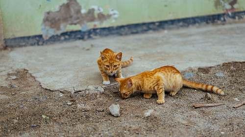 kitten two brown cat on soil animal