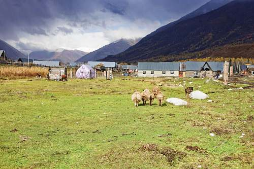 photo countryside six sheep's on green grass ground altay free for commercial use images