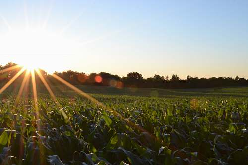 photo sunlight corn field under clear sky crops free for commercial use images