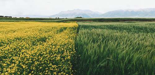 grass field of yellow petaled flowers qinghai