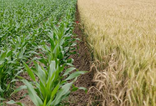 farming green corn plant field plant