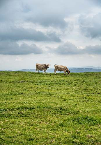 cow two cattle on green filed under white skies grassland