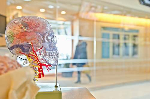photo medical selective focus phot of artificial human skull brain free for commercial use images