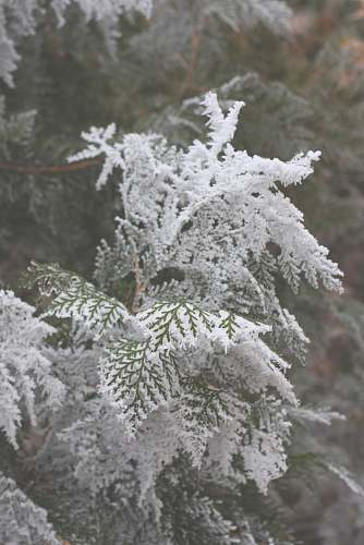 grey pine tree covered with snow snow