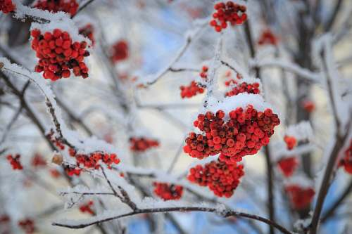 photo nature red berry fruits covered with snow outdoors free for commercial use images