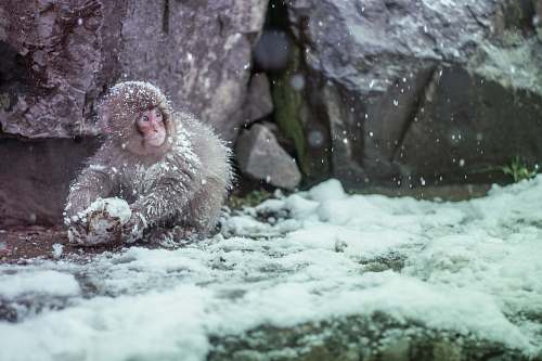 photo nagano brown monkey covered by snow animal free for commercial use images