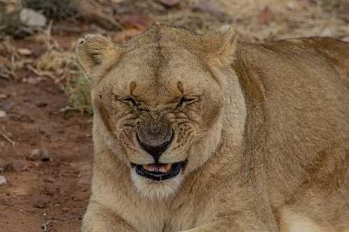 mammal brown lion lying on ground wildlife