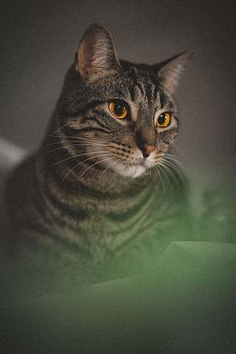 abyssinian brown tabby cat near white wall pet