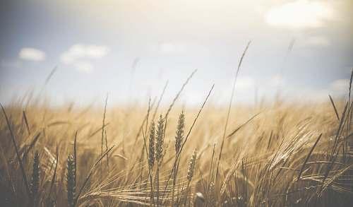 grass green grass at daytime grain