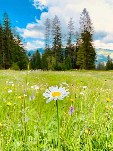 field blooming white and yellow daisy flower field grassland