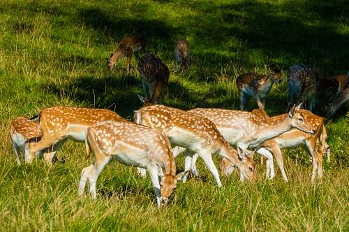 photo field brown and white spotted deer eating grasses grassland free for commercial use images