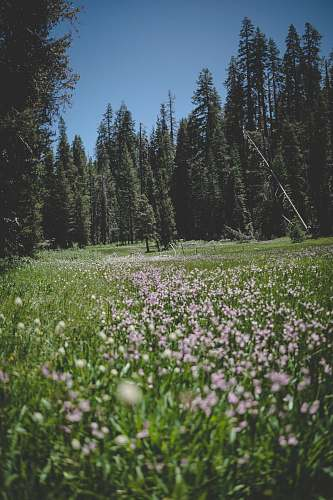 field pink flower and pine tree field during daytime grassland
