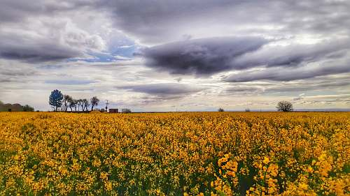field yellow flower field grassland