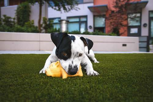 photo dog white and black American pitbull terrier bit a yellow pig toy lying on grass outdoor during daytime grass free for commercial use images