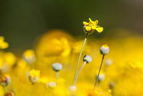 photo plant yellow petaled flower flower free for commercial use images
