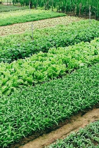 plant green leaf vegetable green