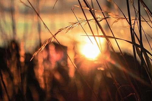 grass silhouette close-up photo of wheat field sun