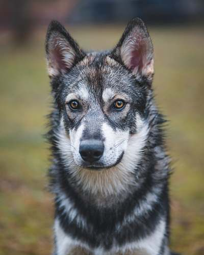 animal shallow focus photo of white and black wolf canine