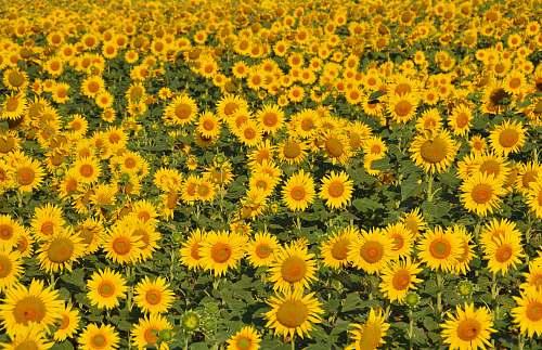 flower bed of sunflowers sunflower