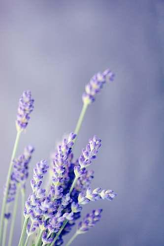 flower close-up photo of lavender plant