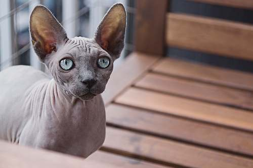 photo cat Sphynx cat eyes free for commercial use images
