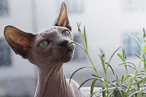 cat sphynx cat in front of plant hairless cat