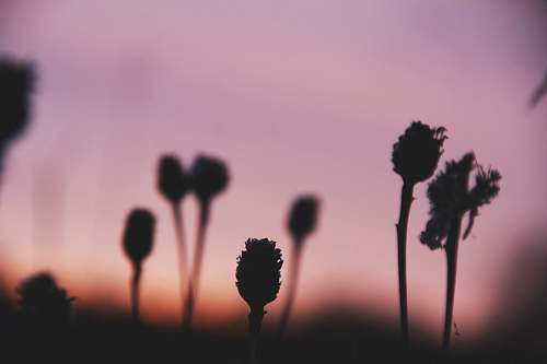 plant silhouette photo of plants at sunset pink