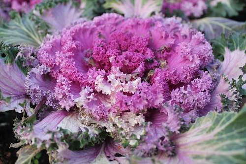 cabbage pink flowers kale