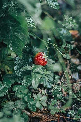 fruit red strawberry plant